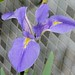 giant blue iris - Photo (c) 澎湖小雲雀, some rights reserved (CC BY-NC-SA)