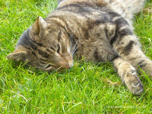 Thu, Apr 18th, 2013 Lost Male Cat - Parkstown View, Ballivor, Meath