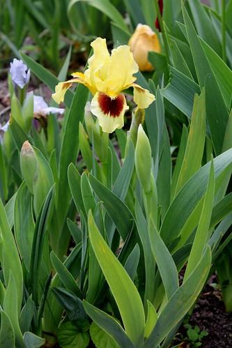 Iris nains (36)