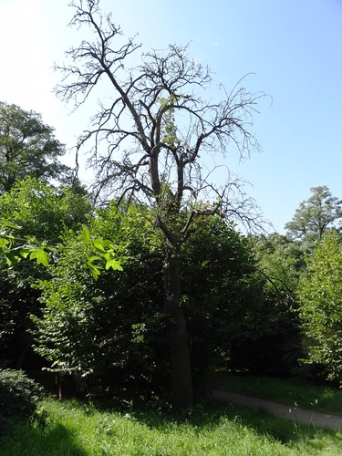 Garten Alma de l'Aigle tote Birne