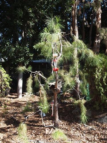 Garden Inventory: Black Pine (Pinus nigra) - 3