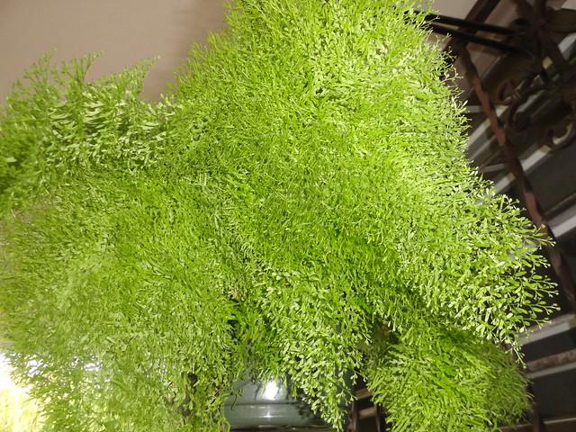 Cotton candy fern nephrolepis exaltata 39 smithii - Nephrolepis exaltata ...
