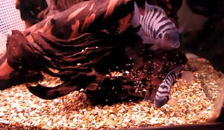 convict cichlid breeding and care