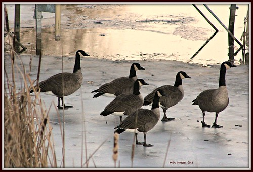 winter nature birds wisconsin geese canadiangeese canoneos60d edittedinpicmonkey