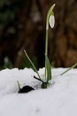 Sarratt Snowdrops