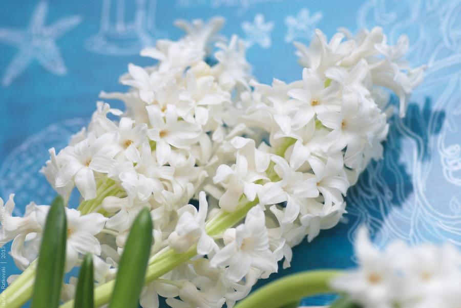 Hyacinths at home