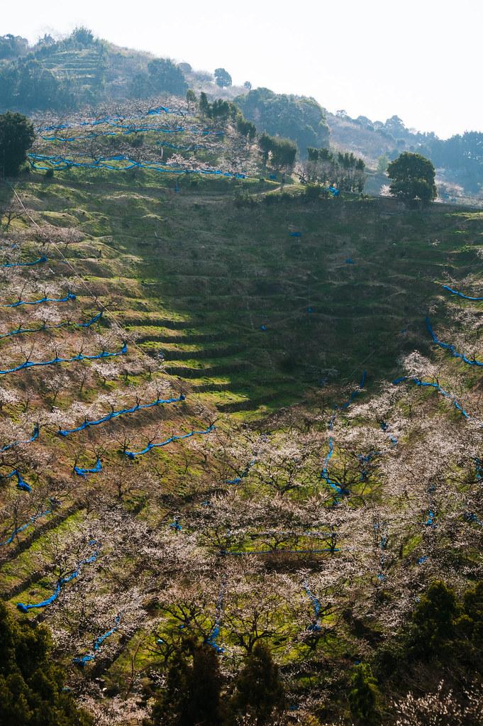Minabe plum forest