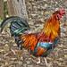 los colores del gallo by abuelamalia49