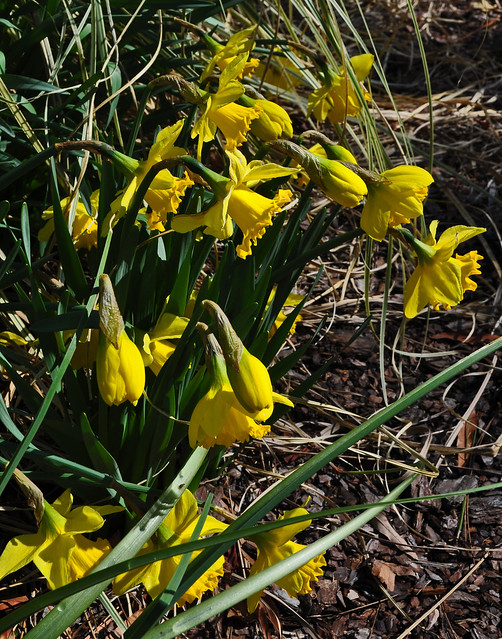 Narcissus Wednesday (9)