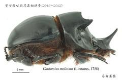 莫洛弭溷蜣(Catharsius molossus)是台灣最大型的糞金龜。(圖片來源:墾丁國家公園管理處)