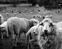 [Free Images] Animals (Mammals), Sheeps, Black and White ID:201303071000