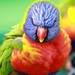 Angry looking rainbow lorikeet by Rebecca Demler