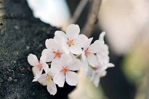 "Cherry blossom ""Somei Yoshino"""