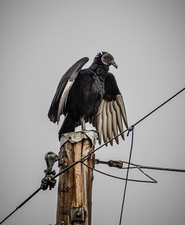 Vulture on a Pole