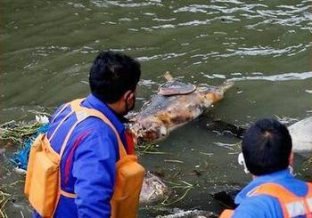 專人已將1200頭死豬從黃浦江移除,當局保證不會影響水質安全  圖片來源:ENS