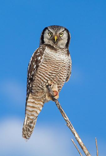 Northern Hawk Owl in Late Afternoon Light