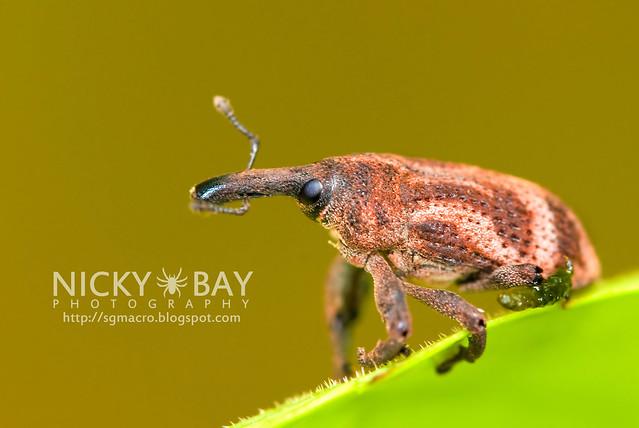 Weevil (Curculionidae) - DSC_7402
