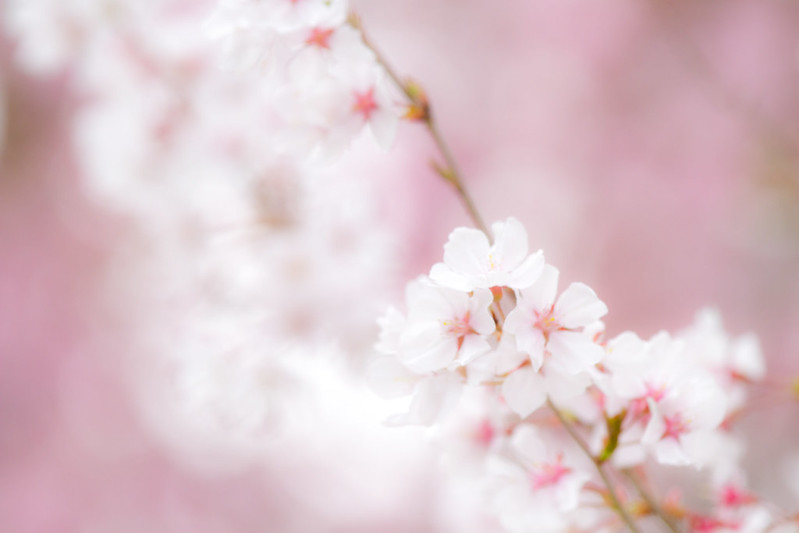 Sakura in Kyoto 28
