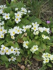 tanacetum parthenium(0.0), flower(1.0), wildflower(1.0), flora(1.0), primula(1.0),
