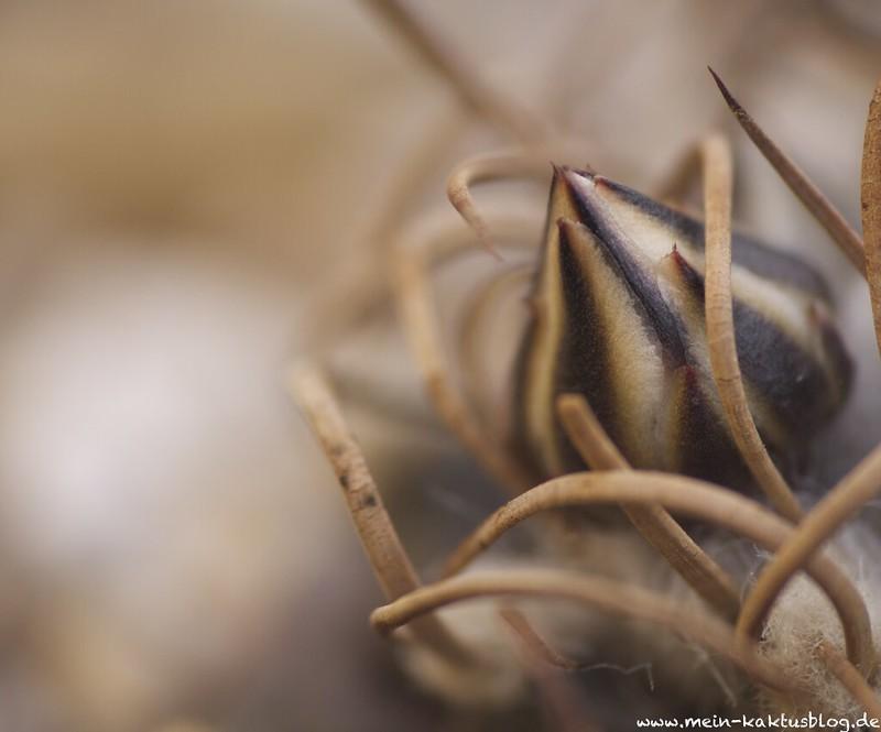 Turbinicarpus schmiedickeanus ssp. macrochele var. frailensis, El Fraile f:8