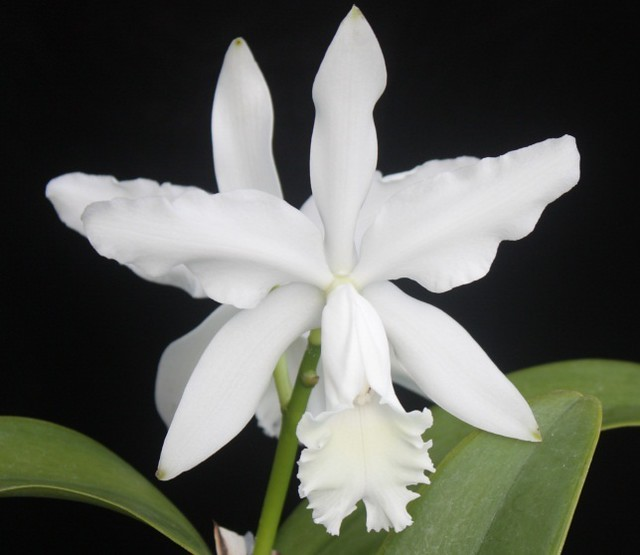 Cattleya intermedia alba