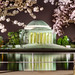Cherry Blossom at Jefferson Memorial
