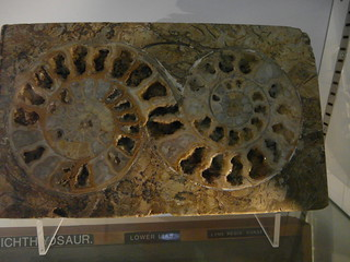Double Ammonite!