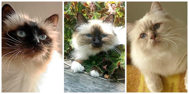Birman Cats