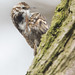 Scratchy Treecreeper by Dan Belton ( No Badger Cull )