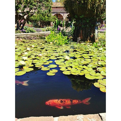 Koi at the Mission