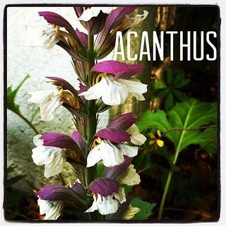 Garden Alphabet: Acanthus