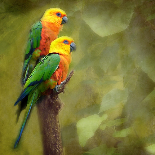 Jandaya parakeets (Aratinga jandaya) by silwittmann - mostly OFF for a while