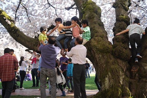 One more child up! Children riding the giant pink cherry tree, Cherry Tree Festival, the Quad, campus, University of Washington, Seattle, Washington, USA by Wonderlane