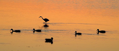 desktop morning wallpaper orange reflection bird heron water silhouette breakfast swim sunrise dawn duck background wade fowl egret desktopwallpaper desktopbackground wader