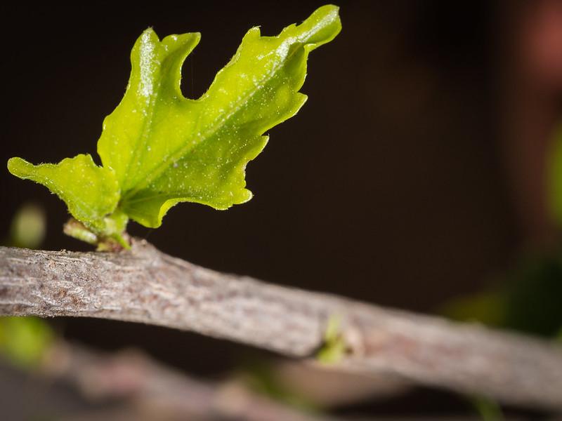 Hibiscus Baby Leaf