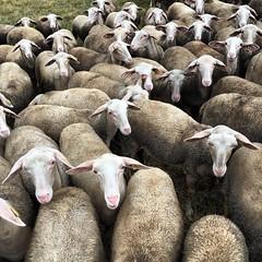 #mouton #promenade #randonnée #lozère