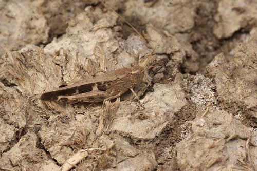 Aiolopus strepens (Acrididae: Oedipodinae) macho