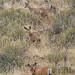 5 mule deer