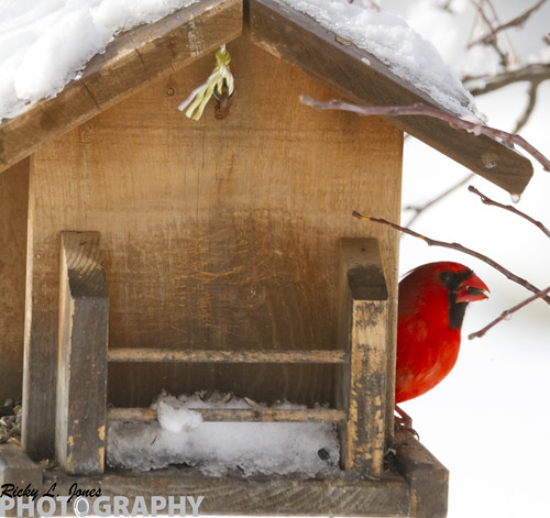 Norther Cardinal in the Backyard by Ricky L. Jones Photography
