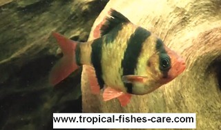 tiger barb breeding