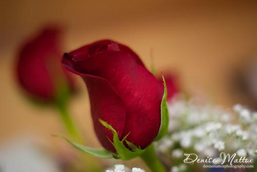 096: Valentine's Roses