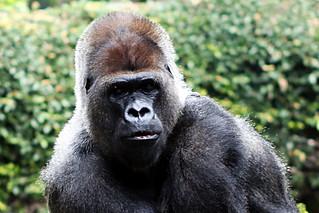 Bild av Gorillas. gorilla tenerife puertodelacruz loroparque gorillagorilla loropark westerngorilla