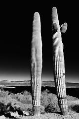 Saguaros at Lake Pleasant Regional Park.