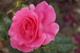 "Rosa ""Romance"""