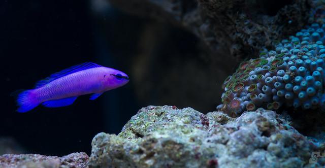 Pseudochromis fridmani in der natur