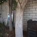 Garden Inventory: Ficus benjamina - 4
