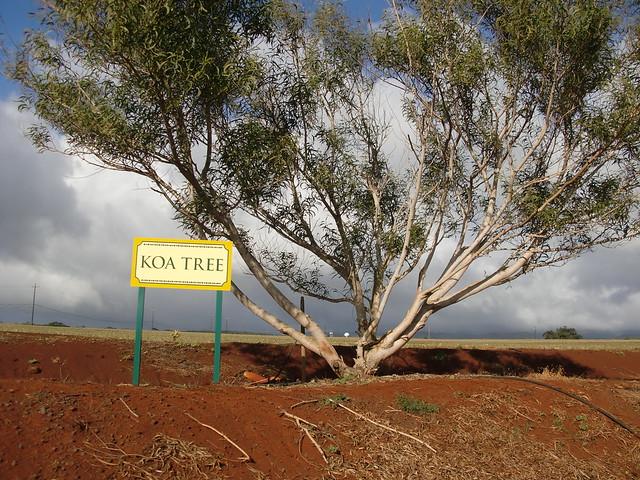 Koa Tree @Dole