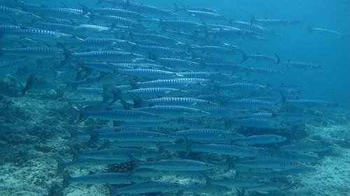 Big school of Barracuda in Sipadan