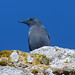 Blue Rock Thrush (Byron Palacios)