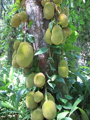 breadfruit(0.0), citrus(0.0), coconut(0.0), produce(0.0), food(0.0), bitter orange(0.0), evergreen(1.0), plant(1.0), artocarpus(1.0), fruit(1.0), jackfruit(1.0),